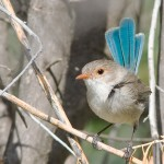 Splendid Fairy wren (female)