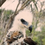 Wedge-tailed Eagle (juv)