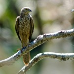 Collared Sparrowhawk (juv)