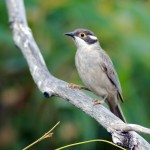 Brown Headed Honeyeater