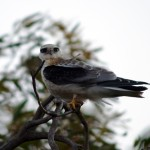 Black Shouldered Kite (juv)