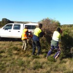 Removing boxthorn